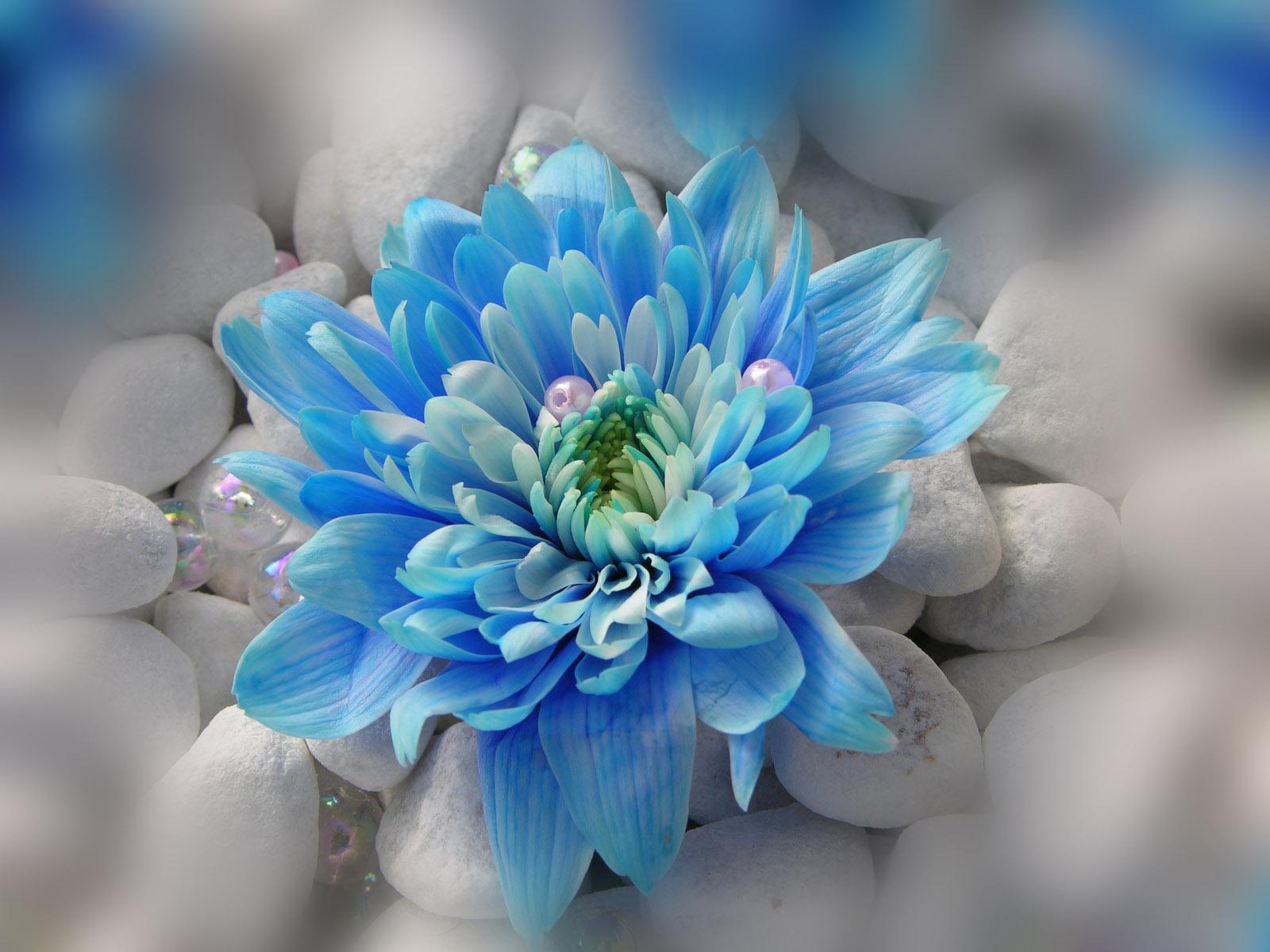Modrina - cvet s perlami